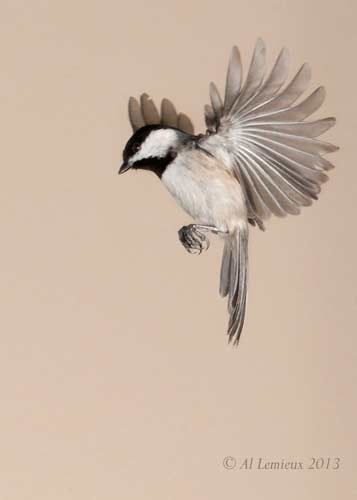 chickadee flying by Al Lemieux