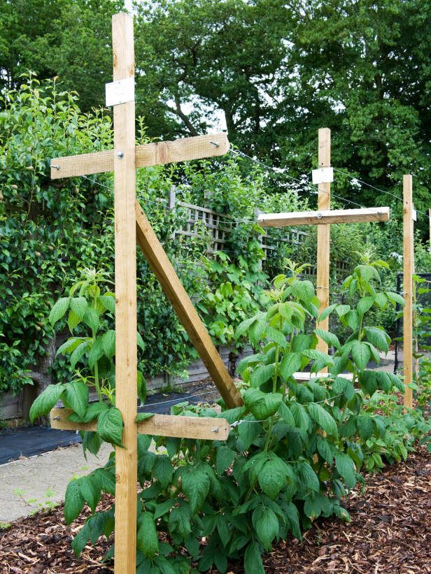 Tall Raspberry Plants Need Adequate Support garden