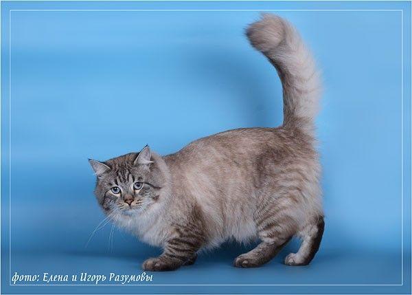 Сибирские кошки .