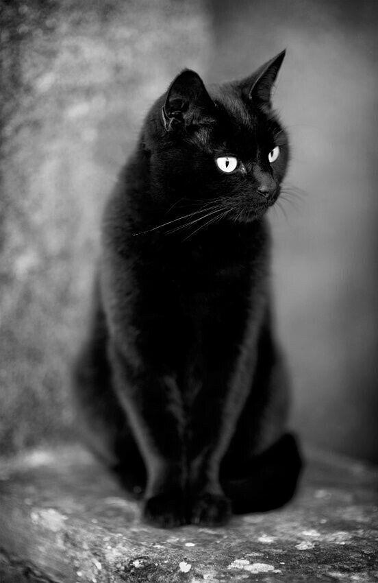 сколько картинки для телефона черный кот внутриглазным