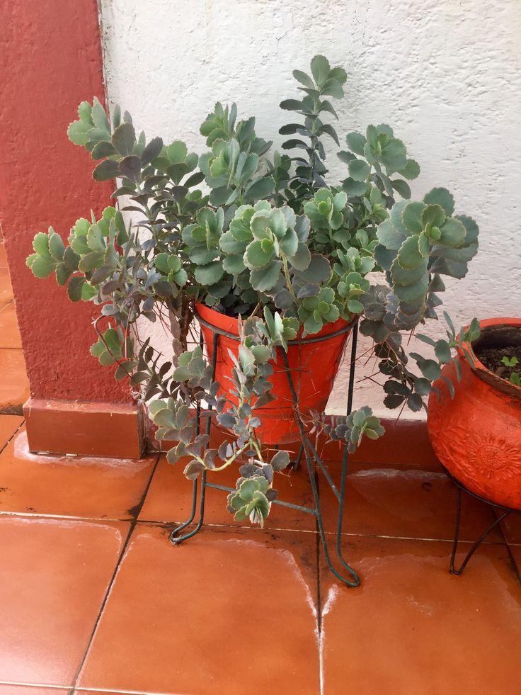 Kalanchoe fedtschenkoi 🌵  nombre común: Vieira lavanda, 💚vieira amatista, kalanchoe uva de gato.  🌱🌦Taxonomía  💧Reino:Plantae  💧División: Fanerógama Magnoliophyta 💧Clase: Magnoliopsida  💧Orden:Saxifragales  💧Familia:Crassulaceae 💧Subfamilia:Kalanchoideae  💧Género:Kalanchoe