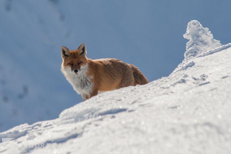 Fox.  #wildlifephotography