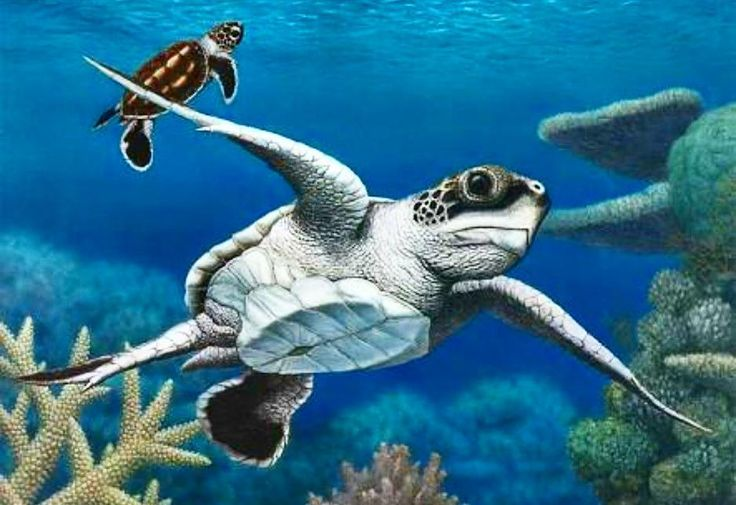 Sea Turtles are one of the Earth's most ancient creatures. Unlike other turtles sea turtles cannot retract their legs and head into their shells. Another interesting fact about sea turtles is that these fascinating creatureswill return to the same nesting grounds at which they were born in order to mate and lay their eggs. #scuba #snorkeling #ocean #oceanlife #fish #invertebrates #reeflovers #coral #reefporn #reeflife#bioenergy #sustainability #solarenergy #biodiversity #ocean #seaturtle