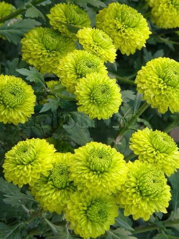 Schöne Blumen Chrysanthemen: Flower