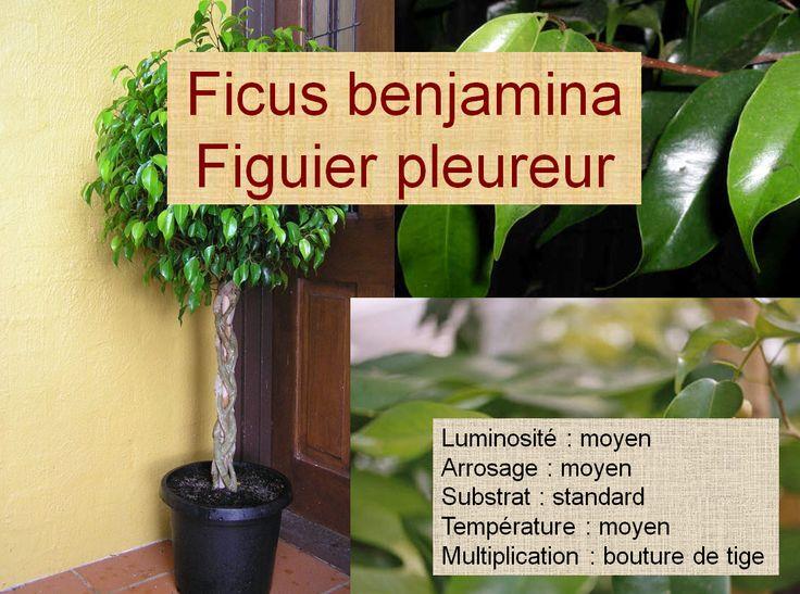 Ficus benjamina Figuier pleureur
