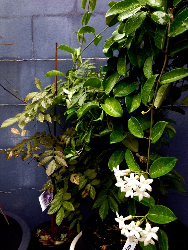 Madagascar jasmine is a beautiful climber that adds volume and a beautiful subtle scent to any garden , we guarantee your mum will approve