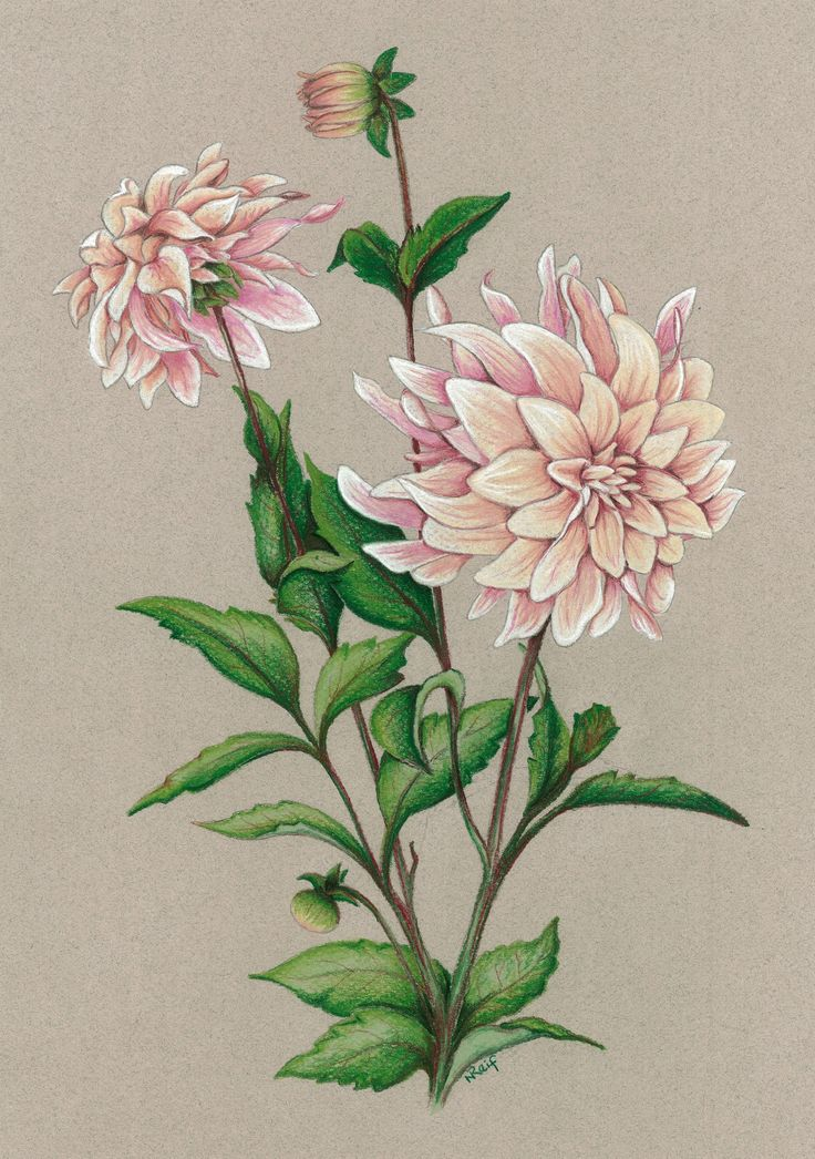 """""""Dahlia Cafe au Lait"""". Pastel on Art Paper. Available as an original, prints or greeting cards."""