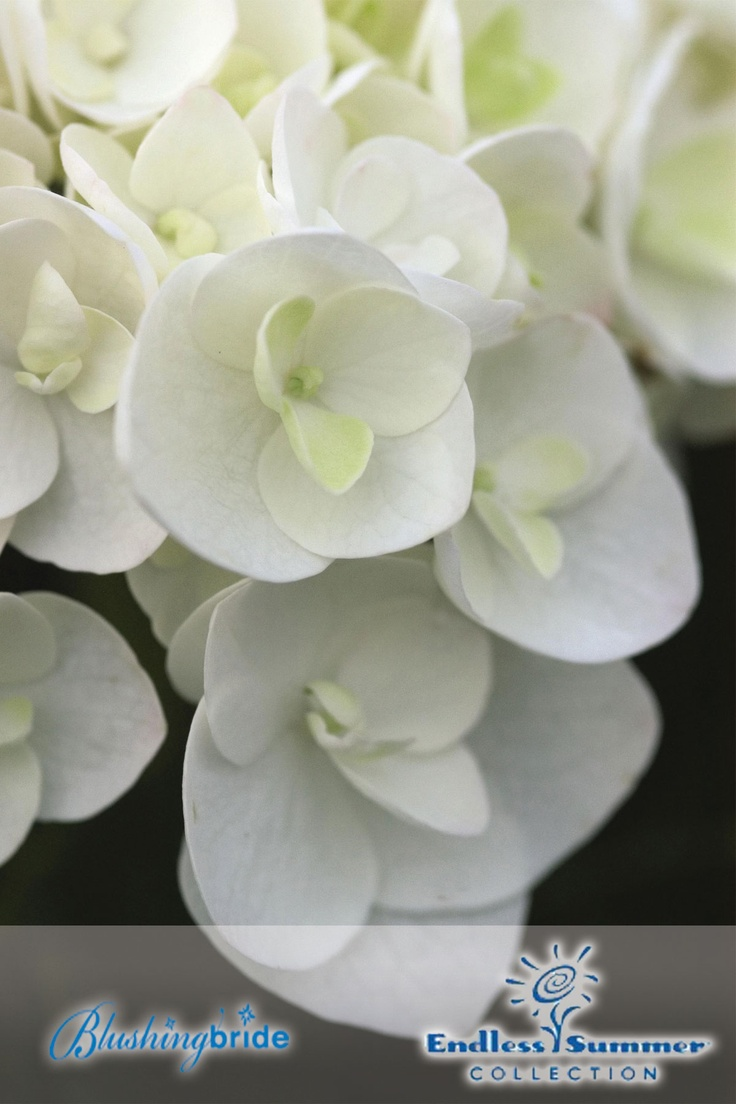 The 4402 Best Hydrangea Images On Pinterest Hydrangeas Hydrangea