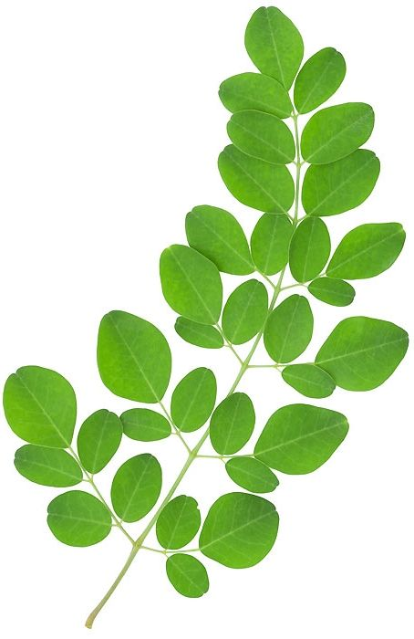 moringa olifera thesis Effect of moringa oleifera on bone density in post menopausal women a thesis by jason brown may 2016 approved by: edward merritt phd chairperson, thesis committee.