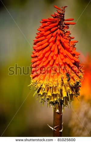 Bees on a Red Hot Poker by ByBethy, via ShutterStock
