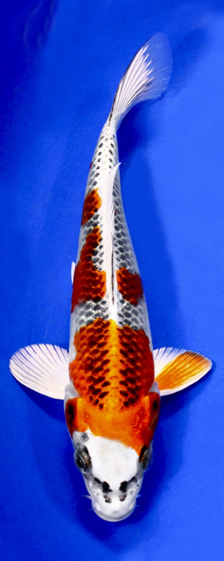 728 best koi images on pinterest koi ponds japanese koi for Black and white koi fish for sale
