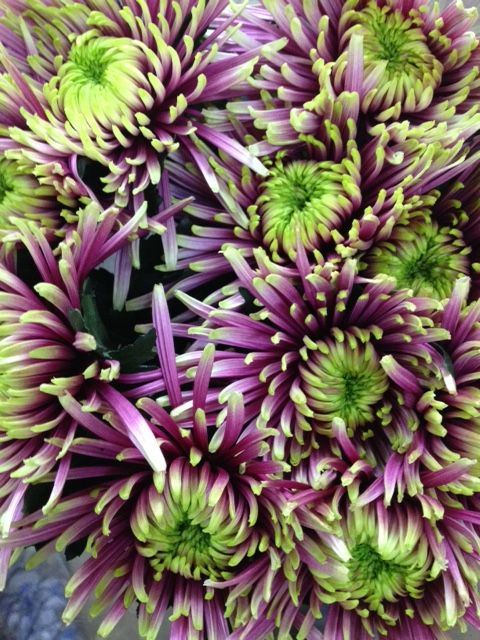 Very striking Bloom 'Baltazar'...Sold in bunches of 10 stems from the Flowermonger the wholesale floral home delivery service.