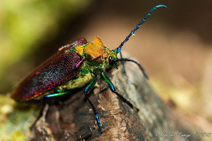 El Insecto más lindo de Chile