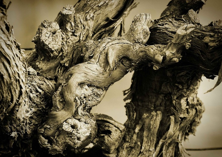 An Old Barossa Valley Vine.    Barossa Valley vignerons are the custodians of some of Australia's oldest surviving and fruit bearing vines.  This is a most beautiful example of an ancient Barossa Valley Vine; estimated to be in excess of 100 years old.  Each gnarly knot, and torturous twist revealing stories of vintages past, some challenging times, but many glorious and celebrated vintages.  This vine still produces grapes for wine, of great depth, maturity and mystique