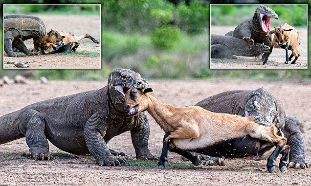 Incredible moment a pair of massive Komodo dragons catch and kill an unsuspecting goat in Indonesia | Daily Mail Online