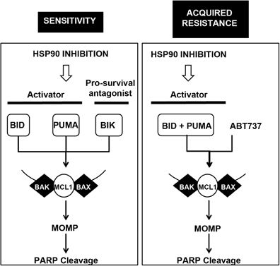 Schematic representation of the HSP90 inhibition-induced apoptosis in sensitive cells and in the context of acquired resistance.