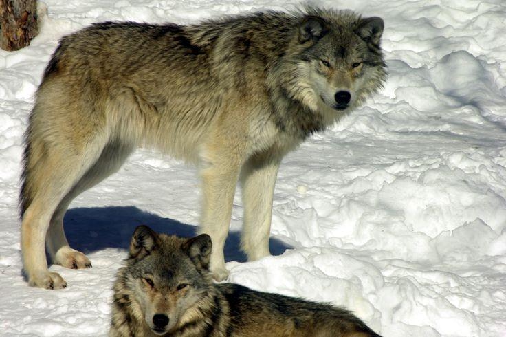 wolves-haliburton wolf centre