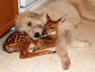 Rocky Ridge Refuge: Baby Deer, Cute Animal, Best Friends, Baby Animal, Families Dogs, Odd Couple, Animal Friends, Irish Wolfhound Puppies, Giant Schnauzers
