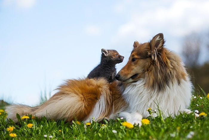 Dog Adopts A Baby Fox After His Mom Died In A Car Accident