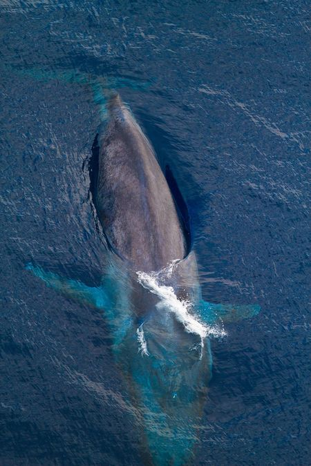 Learn all you wanted to know about blue whales with pictures, videos, photos, facts, and news from National Geographic.
