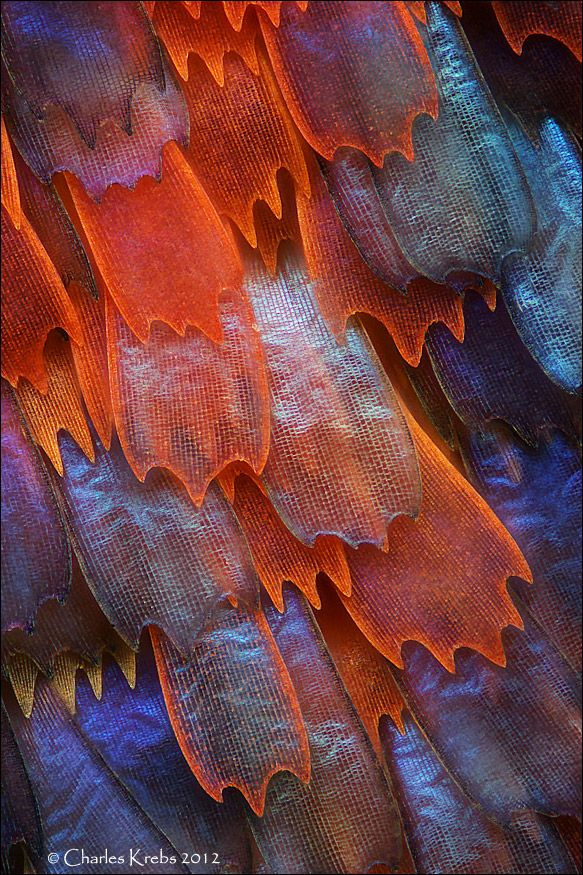 The wings of a butterfly magnified at 200x by Charles Krebs / Butterfly wing scales - Panacea prola (www.photomacrography.net)