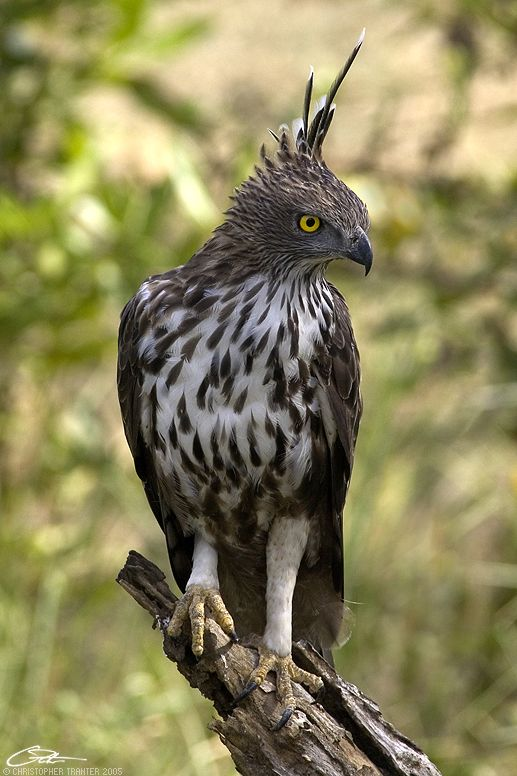 44 Best Hawk Eagle Images On Pinterest