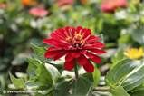 Zinnia Flowers - Zinnia Flower Pictures, Seeds, & Meanings - (500x455 ...