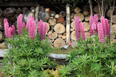 Lupinen vermehren, pflanzen