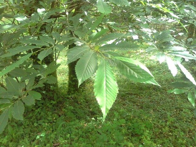 Follas de castiñeiro, tamén chamado castiro.