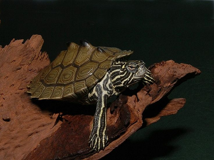 Southern Black Knobbed Map Turtle for sale from The Turtle Source