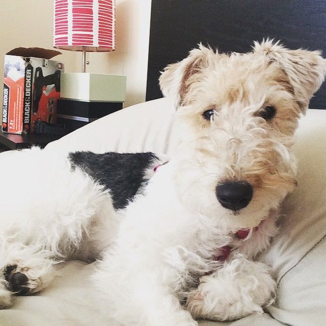 Wire hair fox terrier                                                                                                                                                                                 More