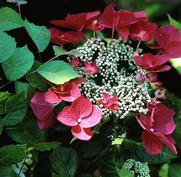 Lady In Red Hydrangea Hydrangea macrophylla 'Lady In Red' P.P.# 15175 Adds distinctive color and style to the landscape over many seasons. Pinkish-white lacecap flowers mature to a lush burgundy rose.