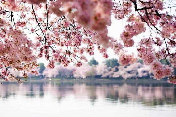 Washington Dc Cherry Blossoms Over Tidal Basin Photography A 93369 Art Prints Wood Metal Si Blossom Trees Cherry Blossom Tree Photo Wallpaper