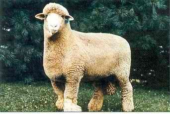 Columbia Sheep | 25 Most Popular Breed of Sheep - Livestock Ideas for your Homestead http://pioneersettler.com/popular-breed-sheep/