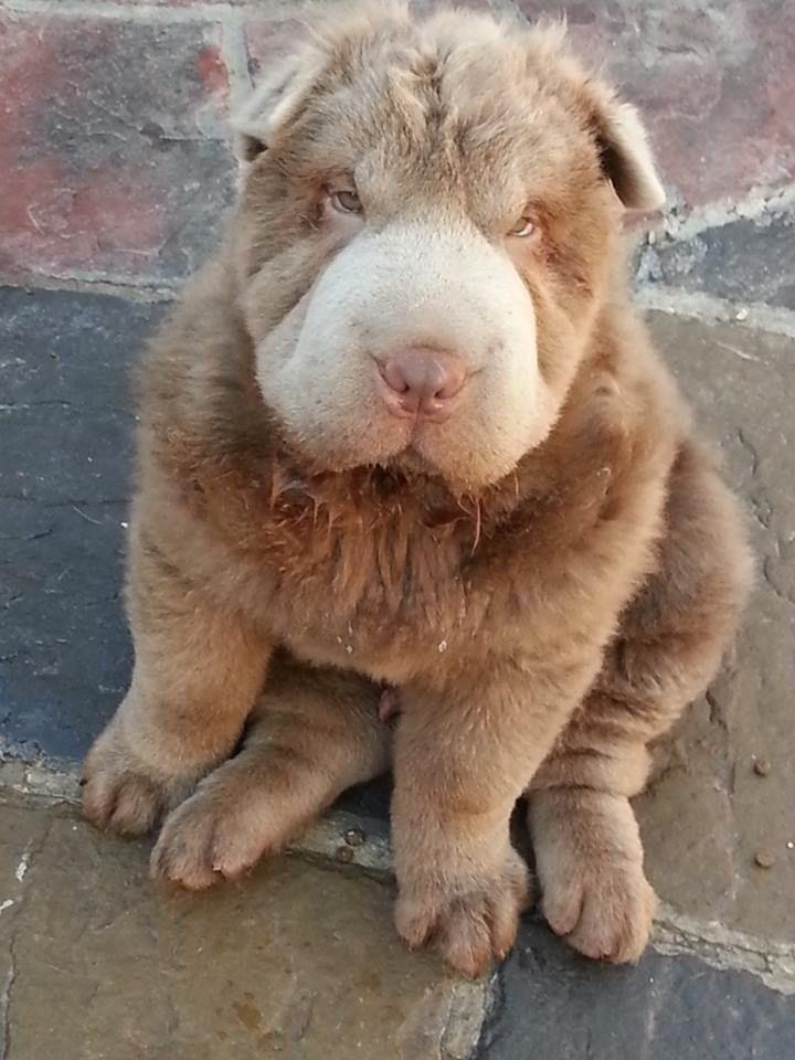 Lillac Bear Coat Shar Pei puppy.