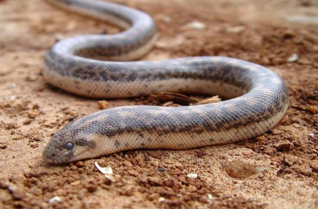 Scientists rediscover ancient Greek 'weapon of war' snake in Sicily - Ancient Hellas. The rediscovery of an Ancient Greek snake species was announced on Thursday in the scientific journal Acta Herpetologica. A type of snake which was used by the ancient Greeks as a weapon of war during sea battles. They used to throw it at their enemies so as to create panic and confusion. The Javelin Sand Boa, officially known as Eryx jaculus, had not been recorded in Italy for 80 years, as Telegraph…