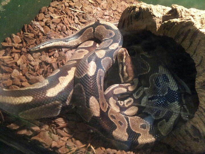 Pythons at the museum in South Shields
