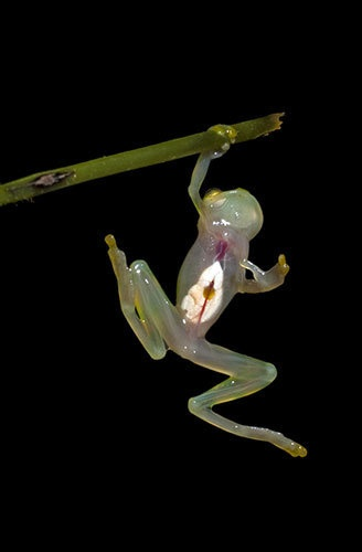 Glass Frog