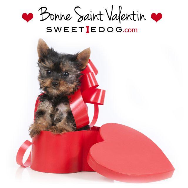 Bonne Saint Valentin les Sweetie Dogs <3 www.sweetiedog.com -yorkshire-vêtement chien- accessoires chiens-Valentin