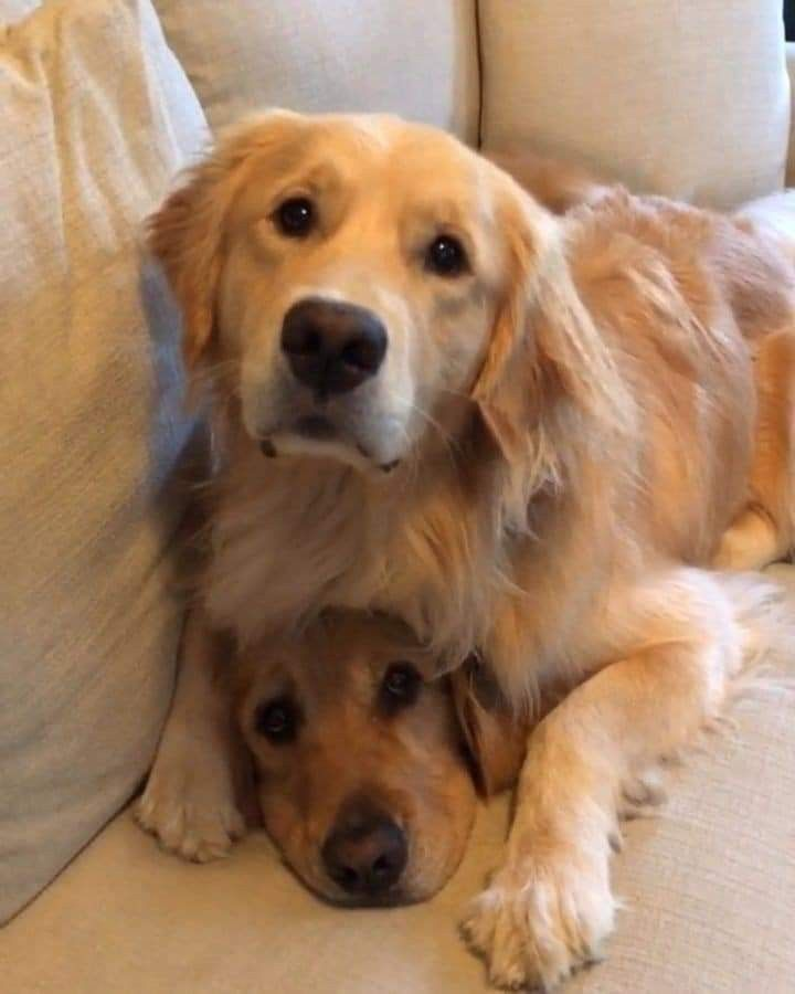 Pin By Joy Cho Oh Joy On Cute Overload Dogs Golden Retriever