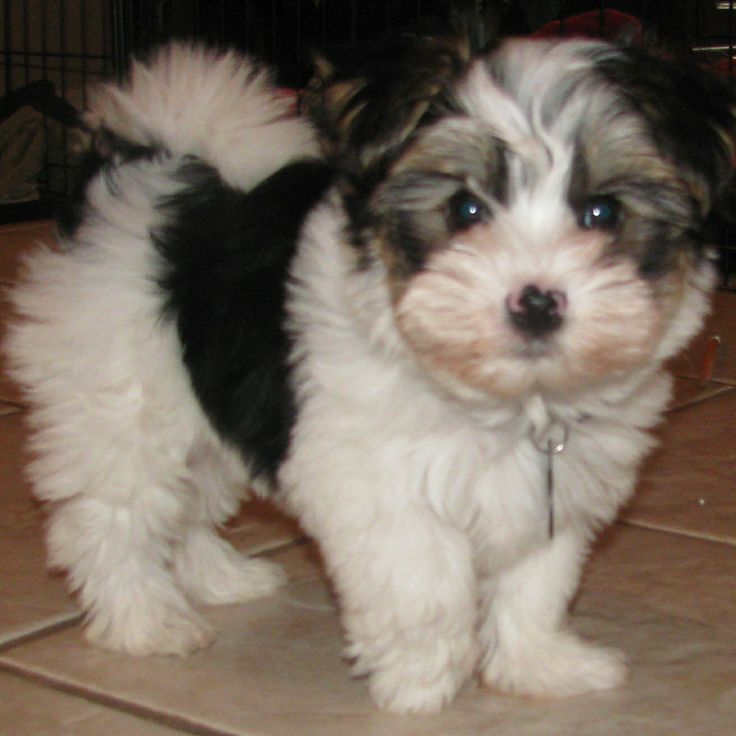 biewer yorkie - Google Search.  (Oh my stars!   Looks just like my Jazmyn!!    BMD)