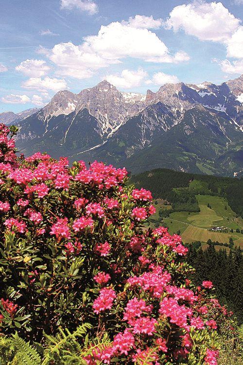 Snow-rose, Alps, Austria