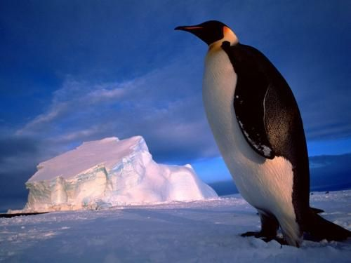 Pinguini - Sfondi per Cellulare,