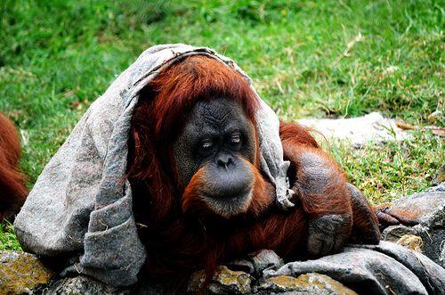 """Orangotango - http://dailyfunnypets.com/pictures/dogs-pics/orangotango/ - Orangotango  Image by Digo_Souza O orangotango (cujo nome vem de duas palavras da língua malaia que, juntas, significam """"pessoa da floresta"""") é um género de exclusivamente duas espécies asiáticas de Grandes primatas. Nativo da Indonésia e da Malásia, os orangotangos são encontrados  ... - Orangotango"""
