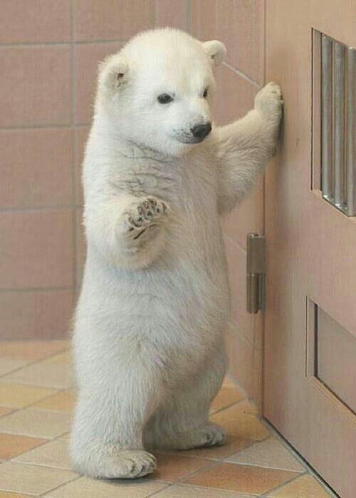 Hi! I really want a baby polar bear!LOL