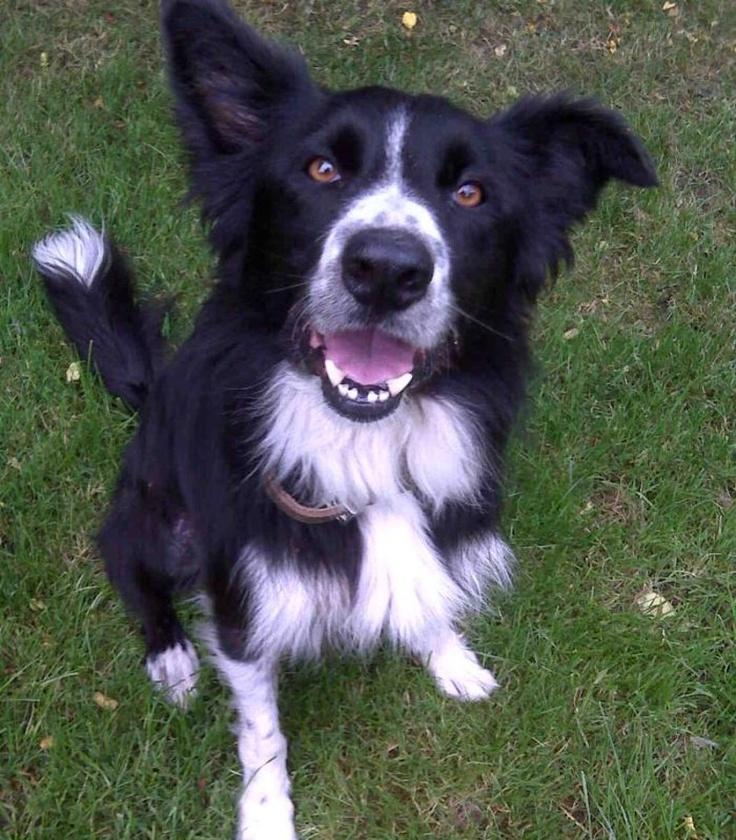 Border Collie: Murphy at Dogs Trust http://www.dogstrust.org.uk/rehoming/dog/1065318/murphy#.URzSvvKuJR0