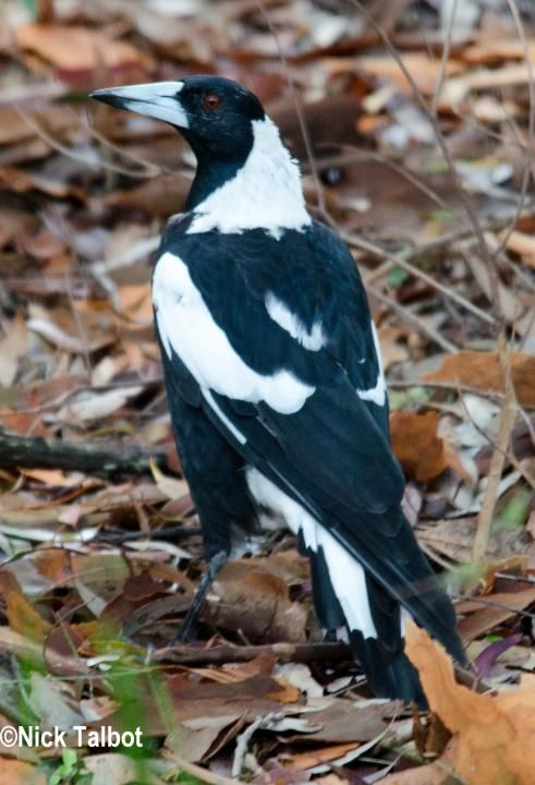 Australian Magpie (Cracticus tibicen) An adult bird on the ground.