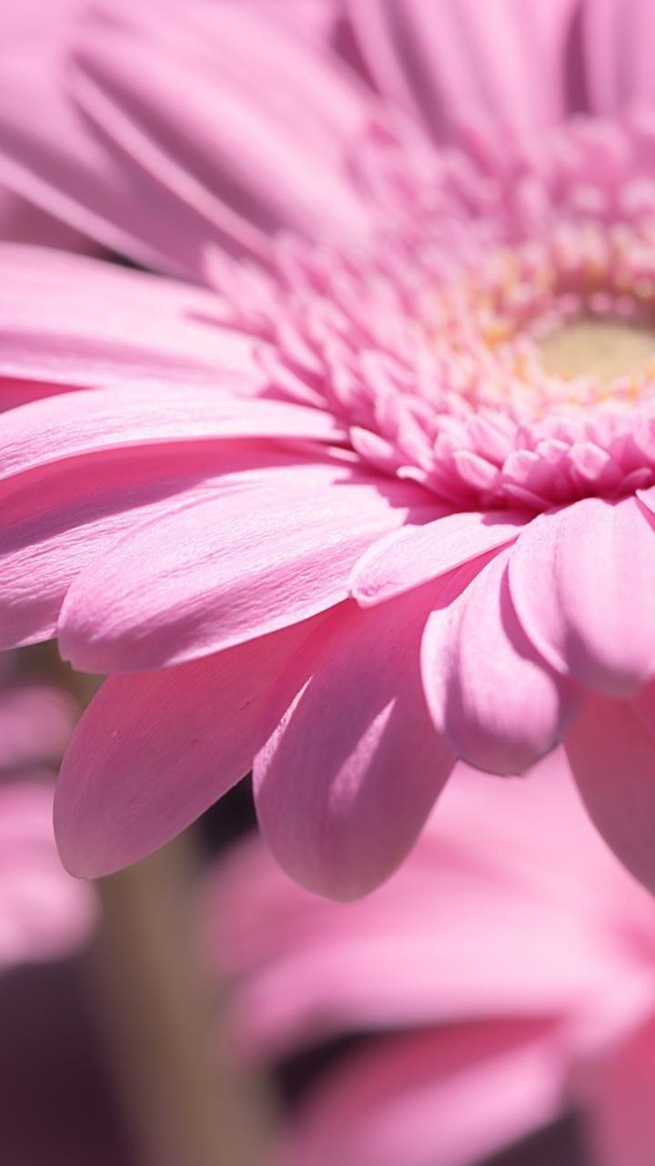 720x1280 Wallpaper Pink Daisy Flower Close Up Bloom Com