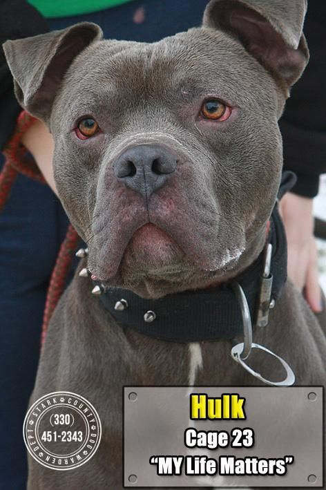 "HULK ""23 Hulk"" - URGENT - Stark County Dog Warden in Canyon, Ohio - ADOPT OR FOSTER - Adult Male Pit Bull Terrier - available January 7, 2017."