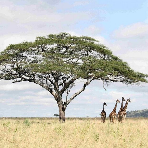 Un gruppo di giraffe nel Parco nazionale del Serengeti, in Tanzania